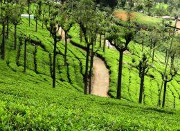 ooty tea estate